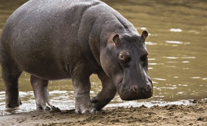 Man Swallowed By Hippo, Lives to Discuss