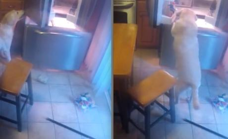 Smartest Dog Ever Learns How to Raid Refrigerator: Watch in Amazement!