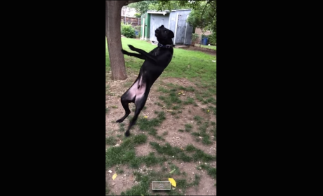 Dog Tries, Fails to Catch Tennis Ball: Fun with Slow Motion!
