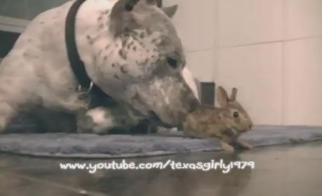 Pit Bull Gives Somewhat Reluctant Bunny a Tongue Bath