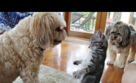 Dogs Meet Kittens for First Time: A Cute Compilation