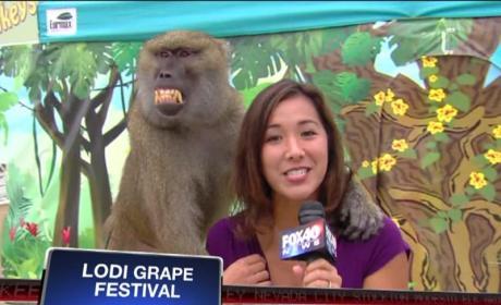 Baboon Fondles Reporter