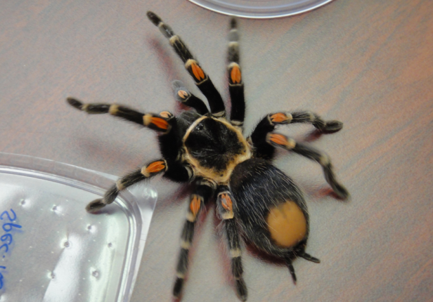 Face-Sized Tarantula