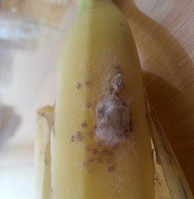 Spiders Hatch Out Of Banana In London Force Couple To