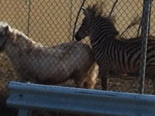 Zebra Chasing Pony