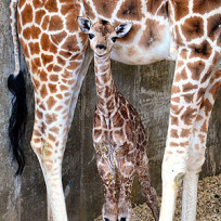 Sandy hope baby giraffe