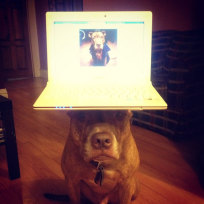 Dog Balances Laptop