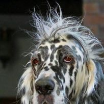11 Dogs Suffering from Very Bad Hair Days