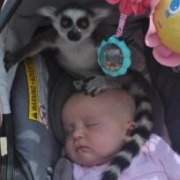 Lemur, Baby