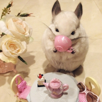 Cutest chinchilla photos ever chinchilla drinks tea