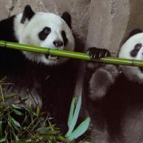 21-totally-adorable-panda-photos_dinner-for-2