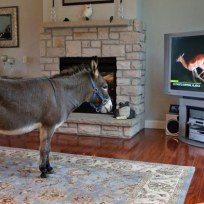 Donkey lives indoors see the photos admiring other animals