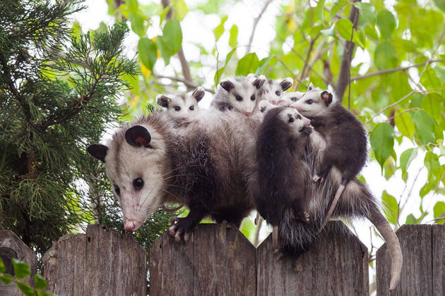 Possum as a Parent