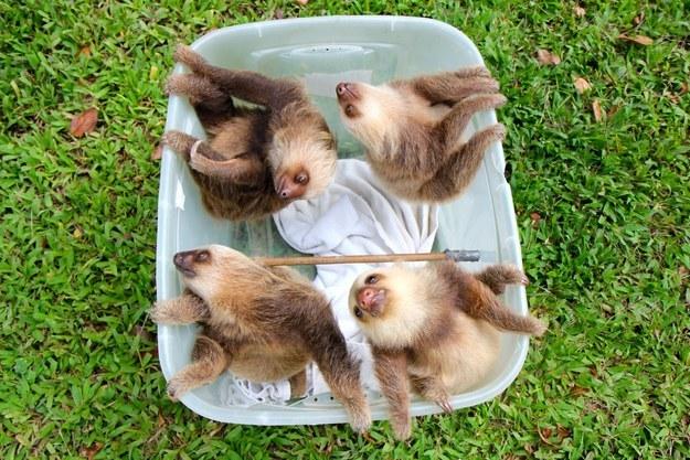 Four sloths. One bucket.