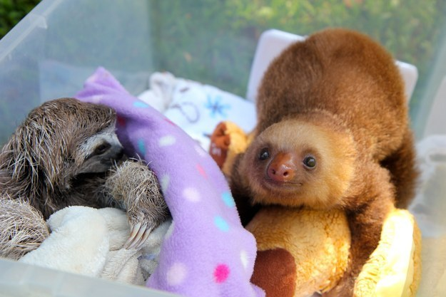 Look at these sloths snuggle!