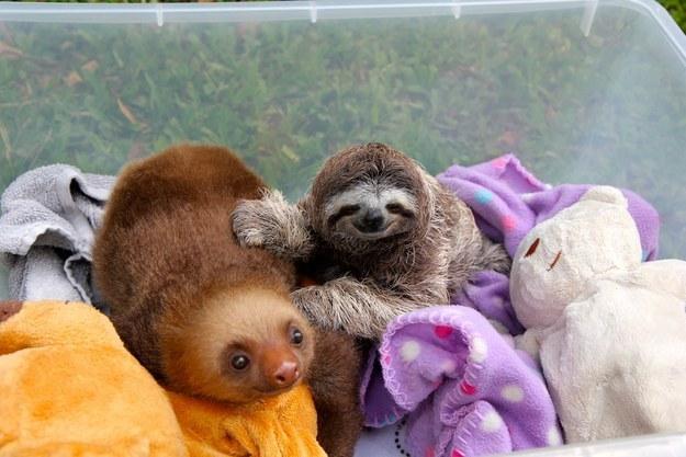 Sloths in a bucket.