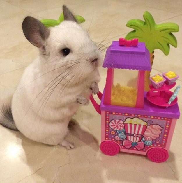 Chinchilla Sells Popcorn