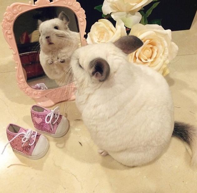Chinchilla Admires Herself