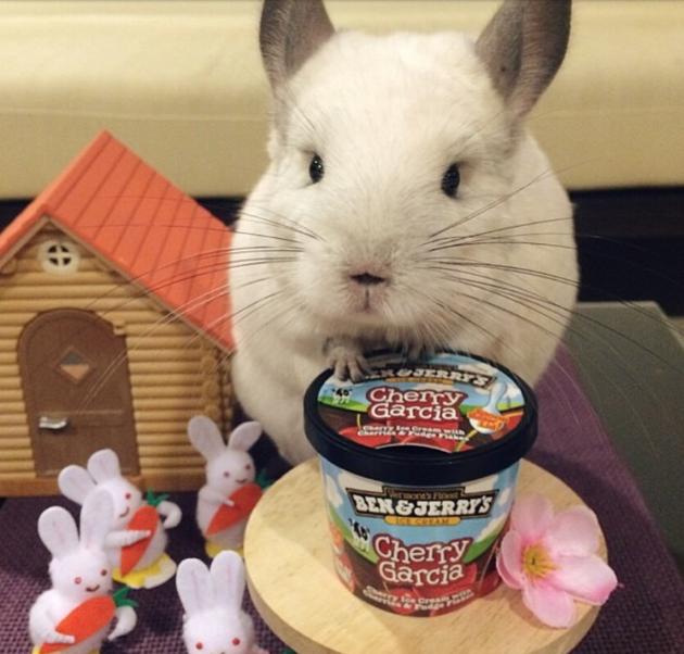 Chinchilla Eats Ice Cream