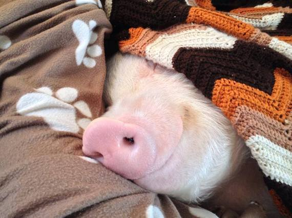 A pig in a blanket.
