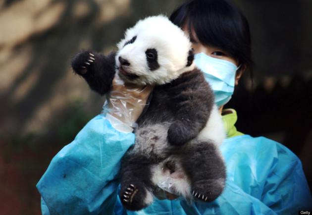 Newborn Panda