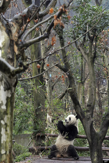 A panda at play