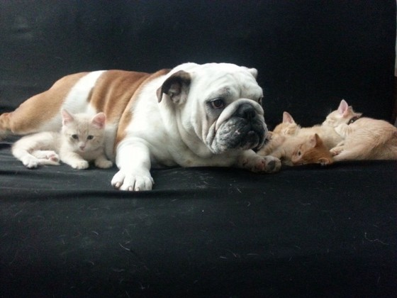 Bulldog Adopts Kittens: Totally AWWW-dorable!