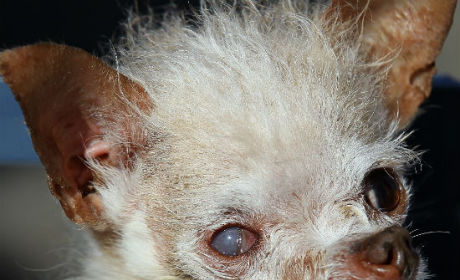 Yoda, the World's Ugliest Dog, Passes Away