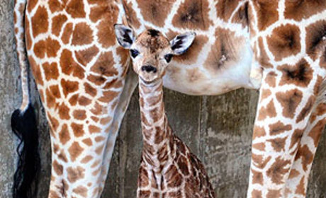 Sandy Hope: Baby Giraffe Born in Connecticut Named in Honor of Newtown Victims