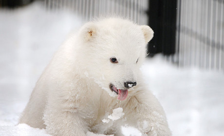 Baby Polar Bear Orphaned, Turned in to Alaska Zoo