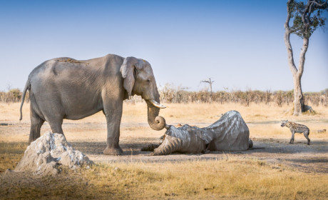 Elephant Mourns Dead Friend, Breaks Heart of Every Internet User