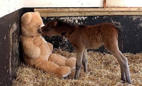 Foal Befriends Stuffed Bear: See the Adorable Photos!