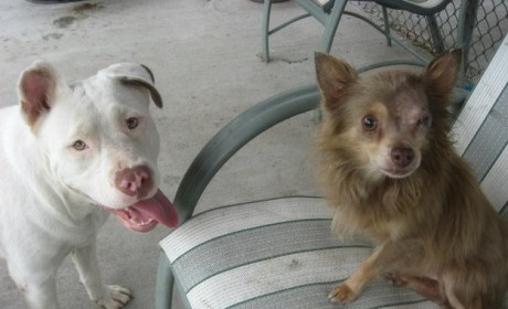 Pit Bull and Chihuahua: Total BFFs!