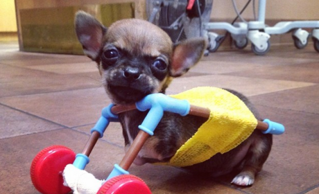 Turbo, Two-Legged Dog, Inspires All in Toy Wheelchair