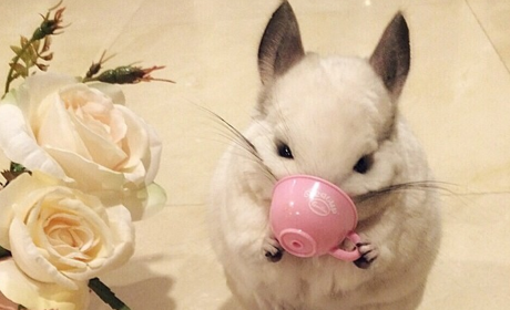 Chinchilla Drinks Tea, Plays Trumpet, Melts the Internet Into a Million Pieces