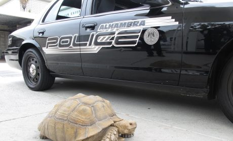 Wayward Tortoise Detained by Los Angeles Police, Eventually Claimed by Owner