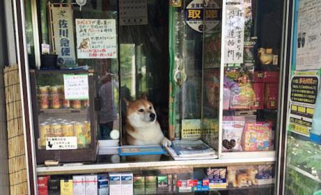 Shiba Inu Runs Bodega in Japan: No, Really!!!