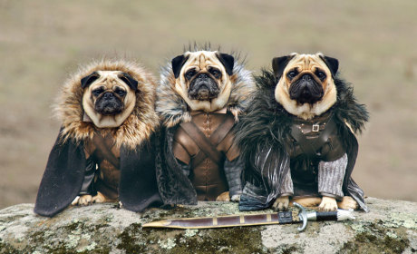 Pugs Dress as Game of Thrones Characters: Hilarity is Coming!