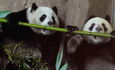 Hungry Panda Fakes Pregnancy, Earns Extra Food from Zookeepers