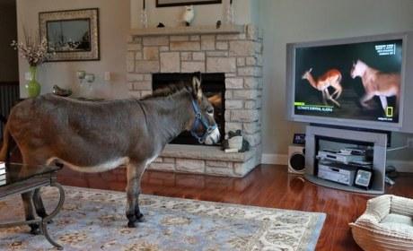 Donkey Lives Inside Missouri Home, Thinks He's Regular Member of the Family