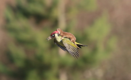 Photo of Weasel Riding Woodpecker Goes Viral, May Be Misunderstood
