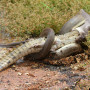 Snake Swallows Crocodile: See the Amazing Pics!