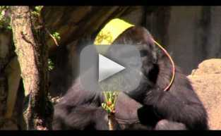 Gorilla Takes Part in Easter Egg Hunt