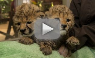 Cheetah Cub Sisters Born in San Diego