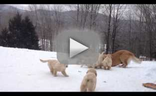 Golden Retrievers Play in Snow