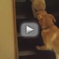 Dog Teaches Puppy to Walk Downstairs