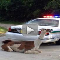 Cops Taze Llama