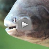 Testicle-Eating Fish Caught in Sweden