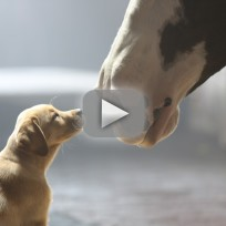 Budweisier super bowl commercial puppy love