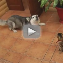 Husky-tries-fails-to-play-with-cat